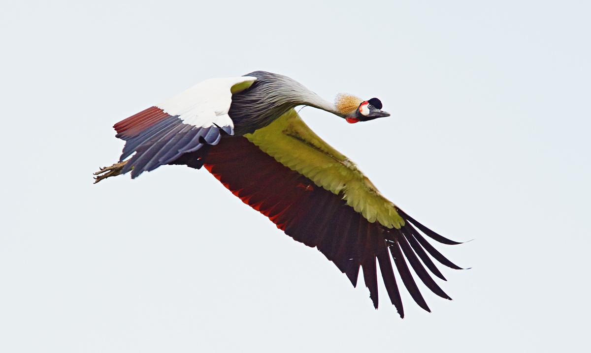 201504  crown heron flying 1007 sh sRGB.jpg
