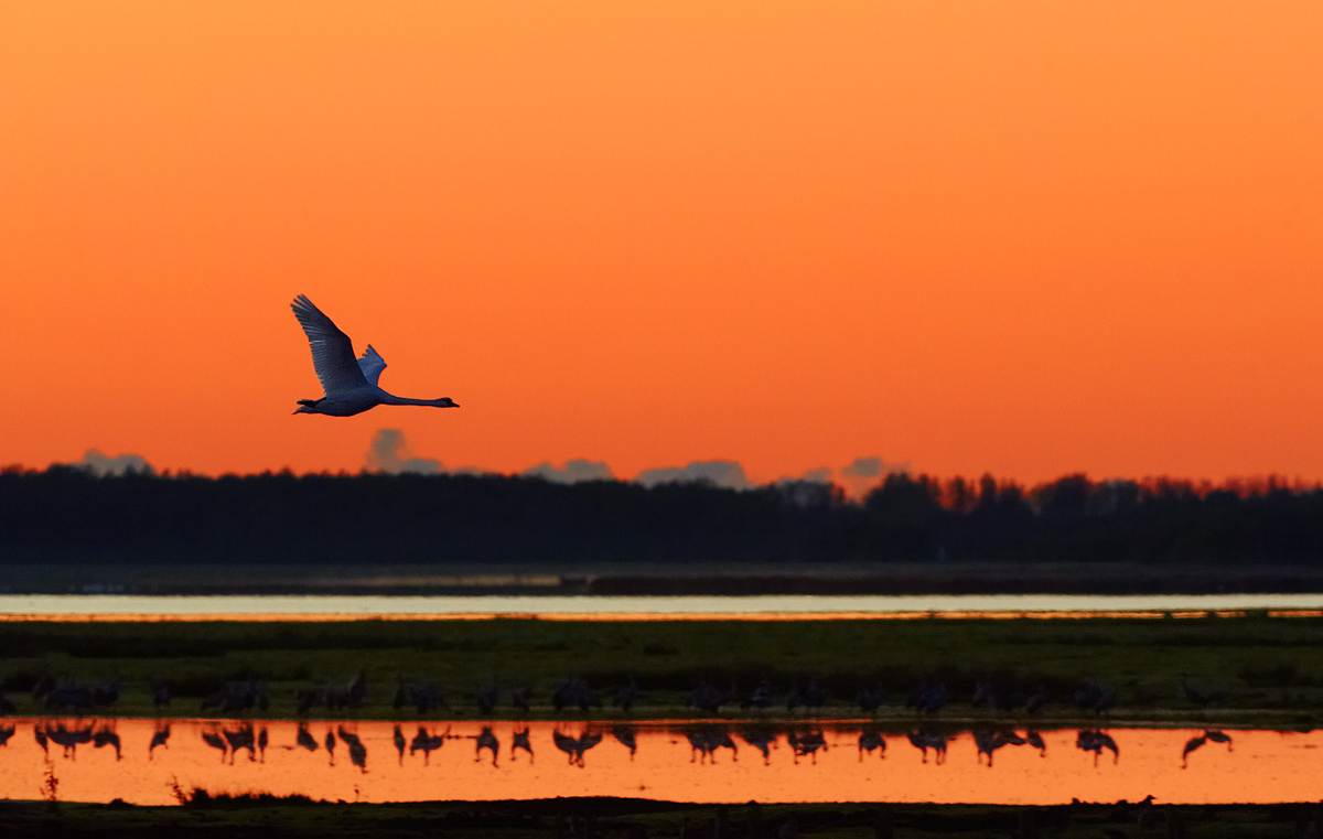 30x40  201110  swan in morning 0648 rz sh SRGB.jpg