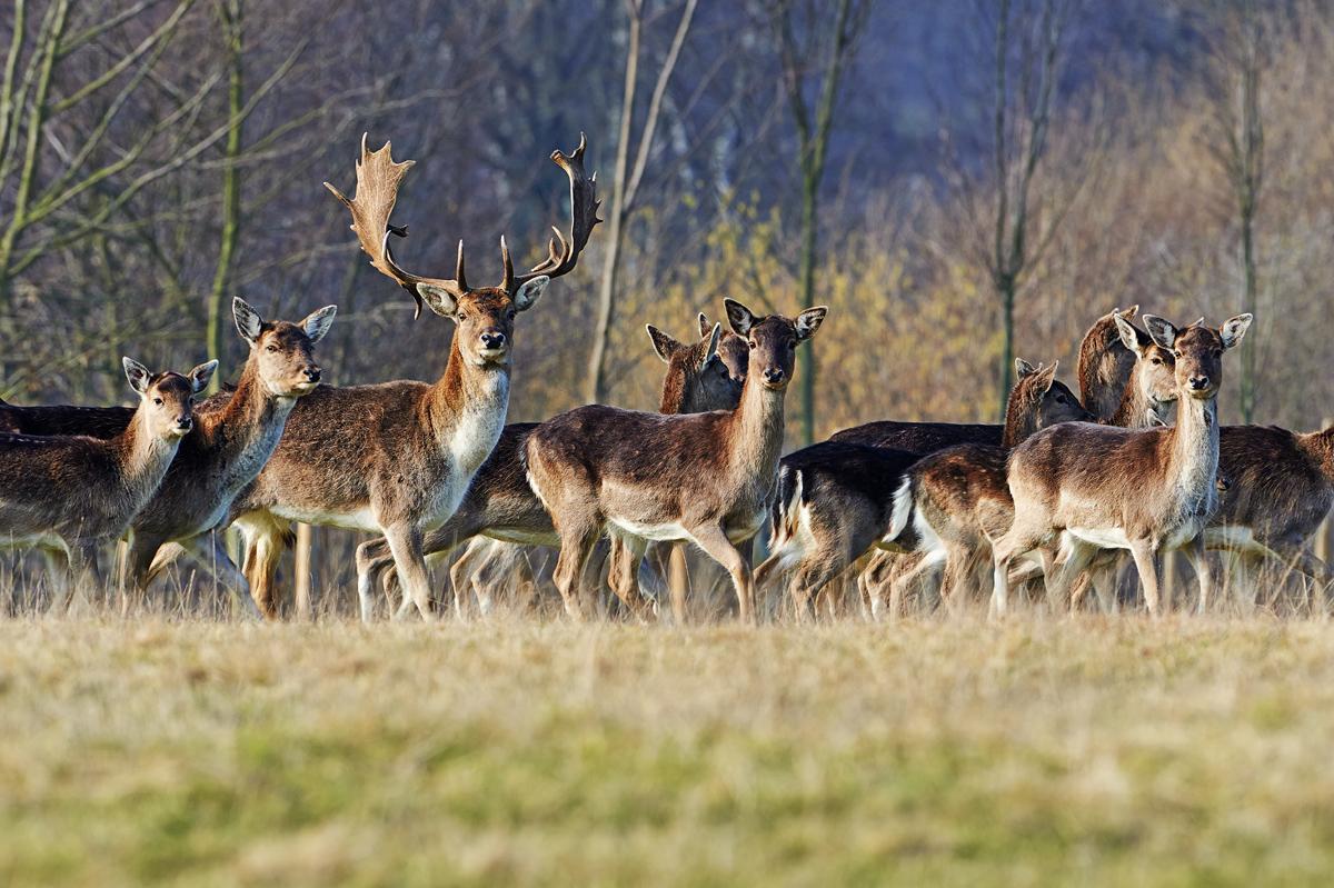 30x40  201402  fallow deer with herd 9611 sh sRGB.jpg