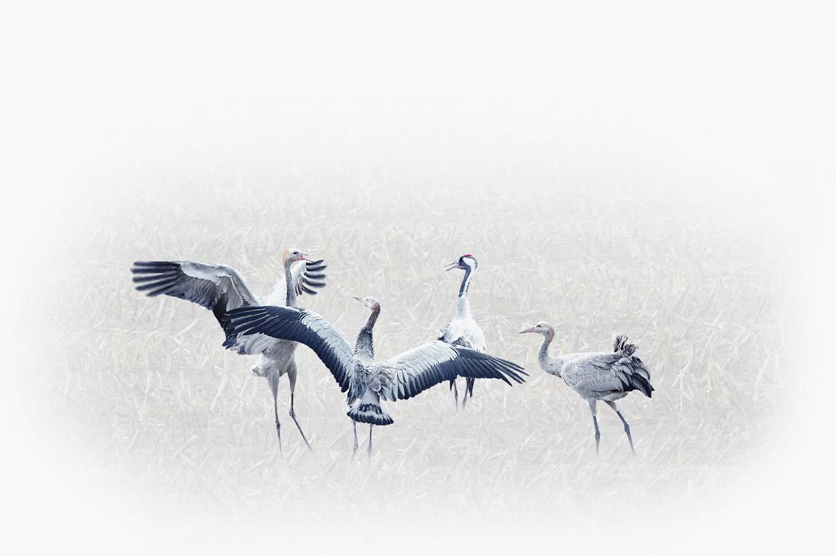 30x40--201110--fighting young cranes art 7165 rz sh.jpg