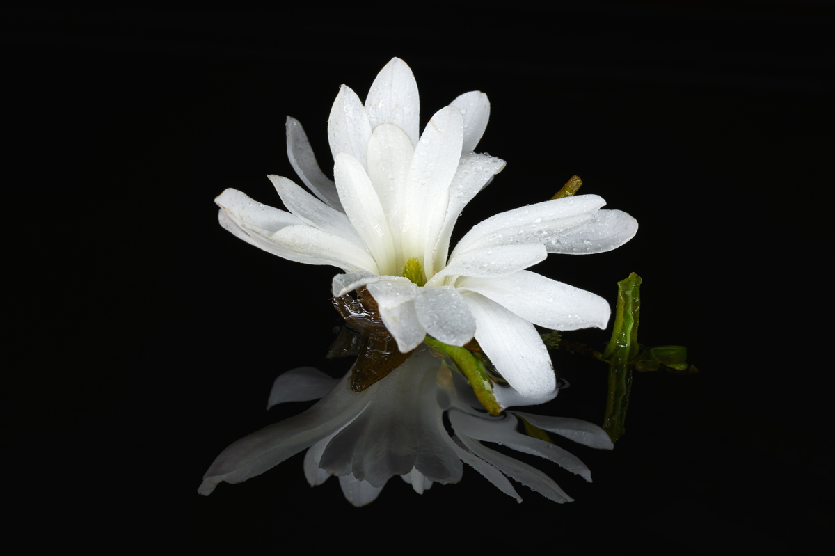 201604  white azalea in mirror 8212 sh sRGB.jpg