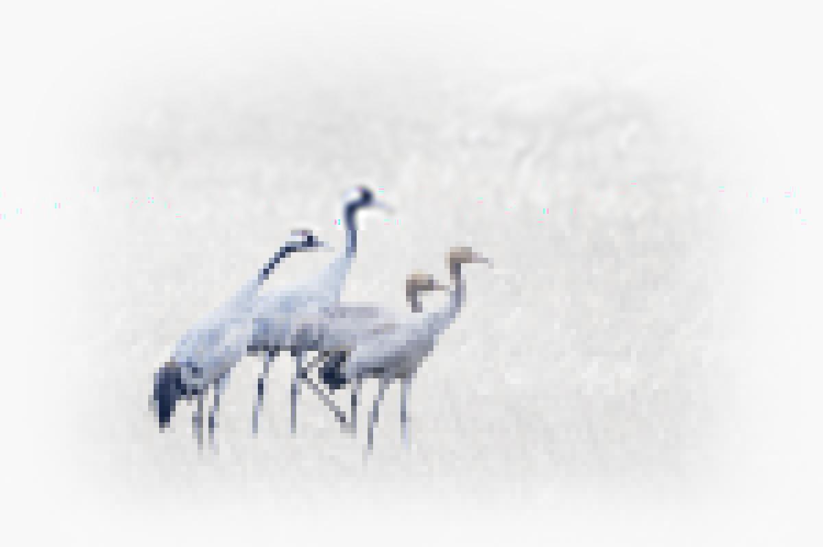 30x40  201110  crane family waiting for art 6894 rz sRGB.jpg