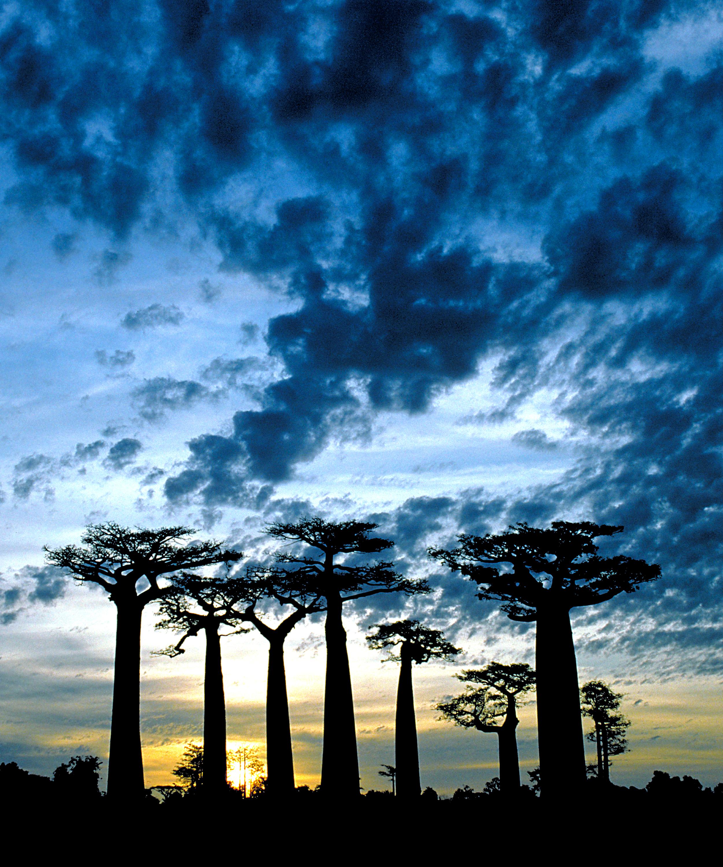 Baobab grove 20x24.jpg