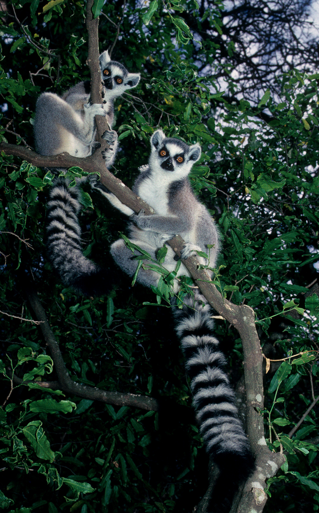two lemurs.jpg