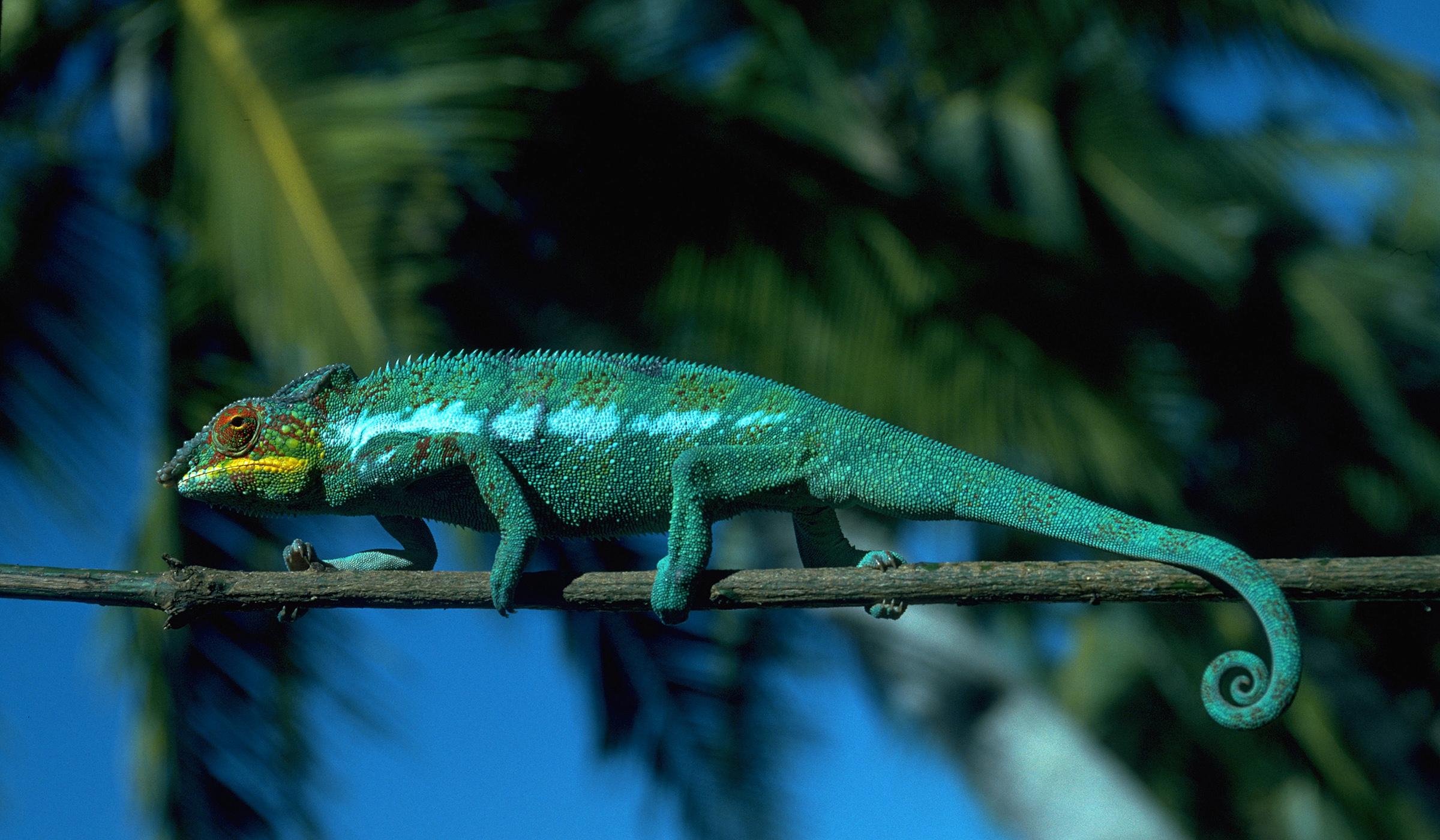 Chameleon MG0052_2.jpg