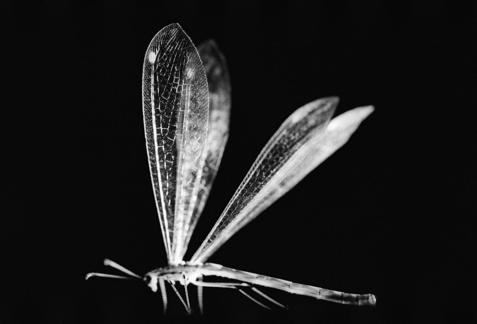 antlionwings.jpg