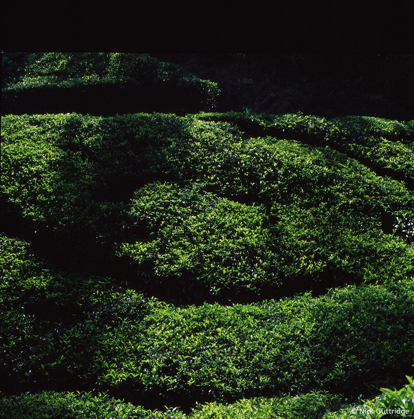 India Green Tea.jpg