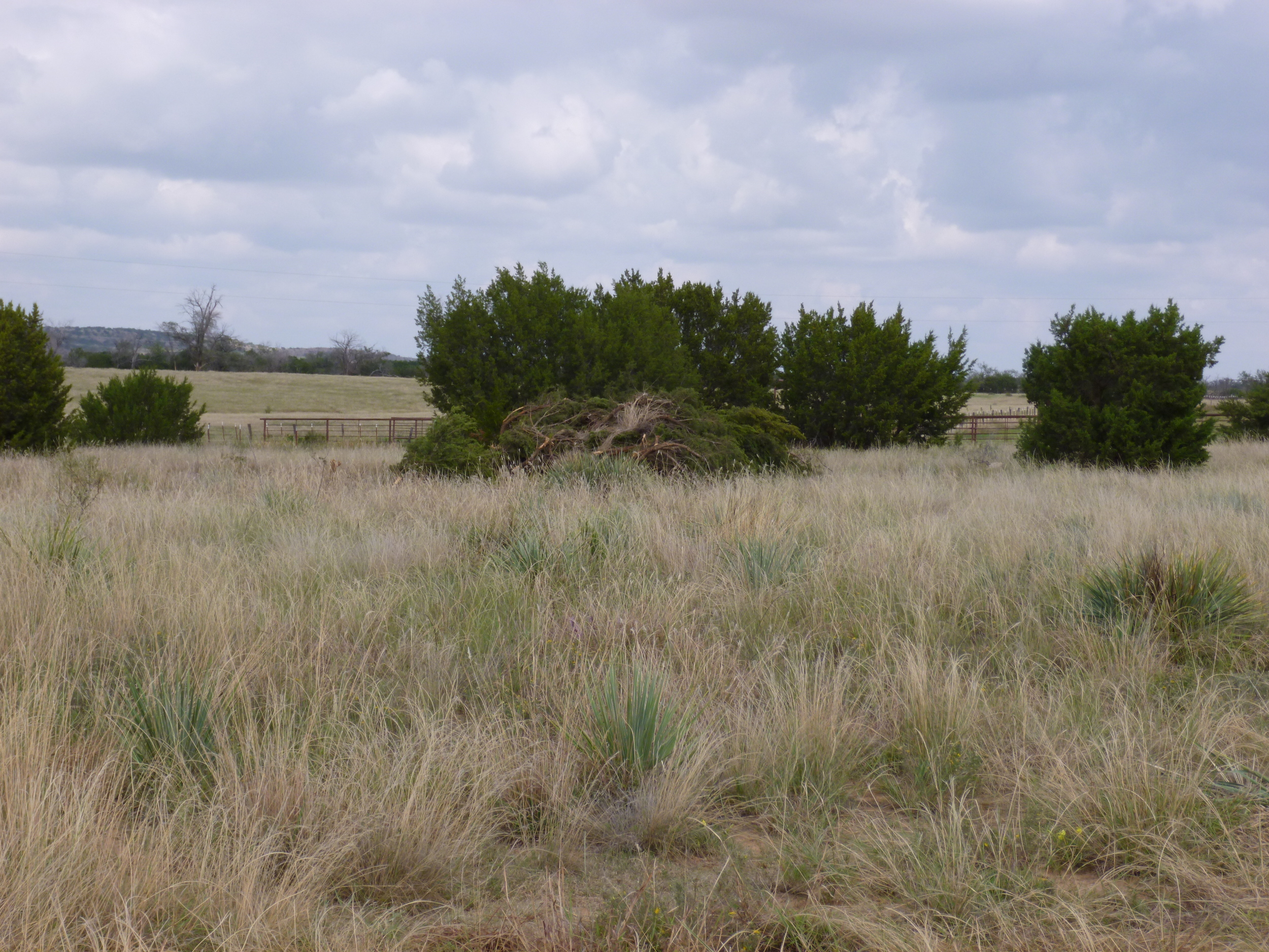 Controlling eastern red cedar is an important tool in helping to improve quail habitat