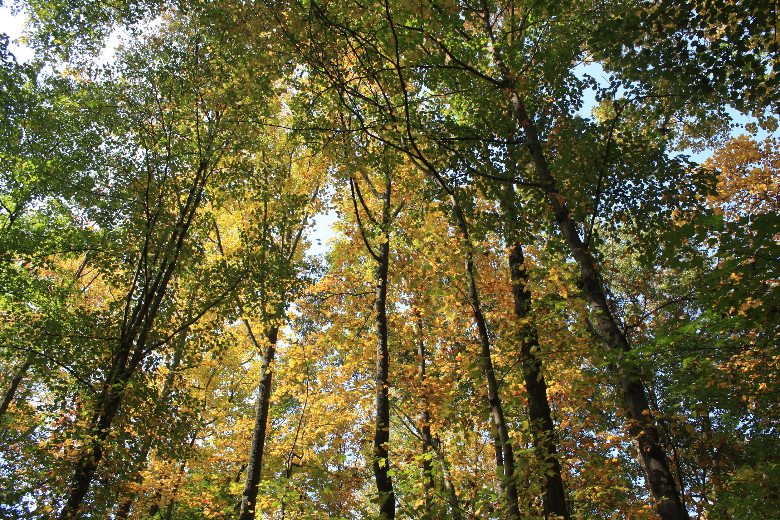 autumn canopy 2012.JPG