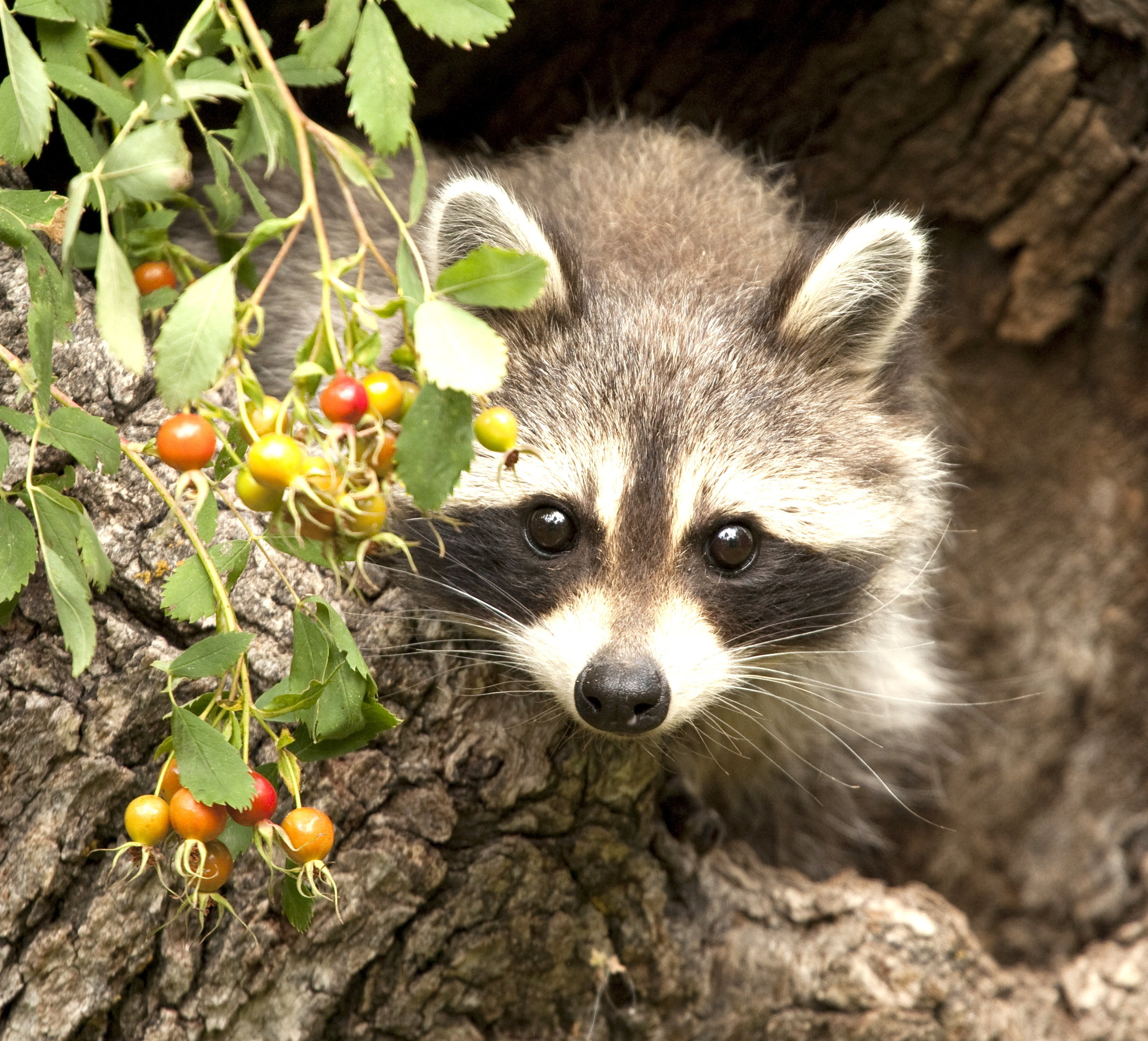 baby raccoon.jpg