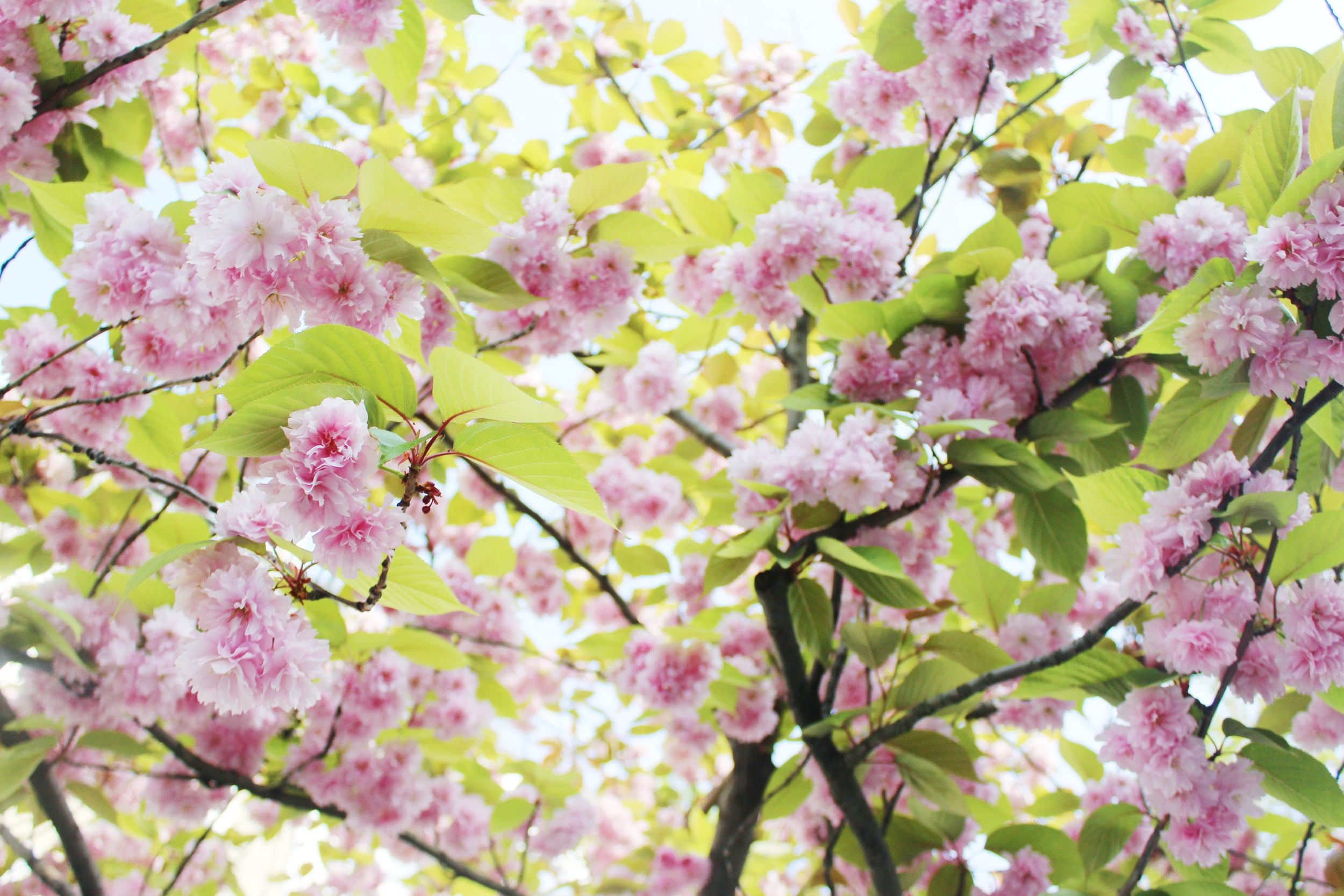 Notting Hill Charm - Cherry Blossoms | Sundays and Somedays