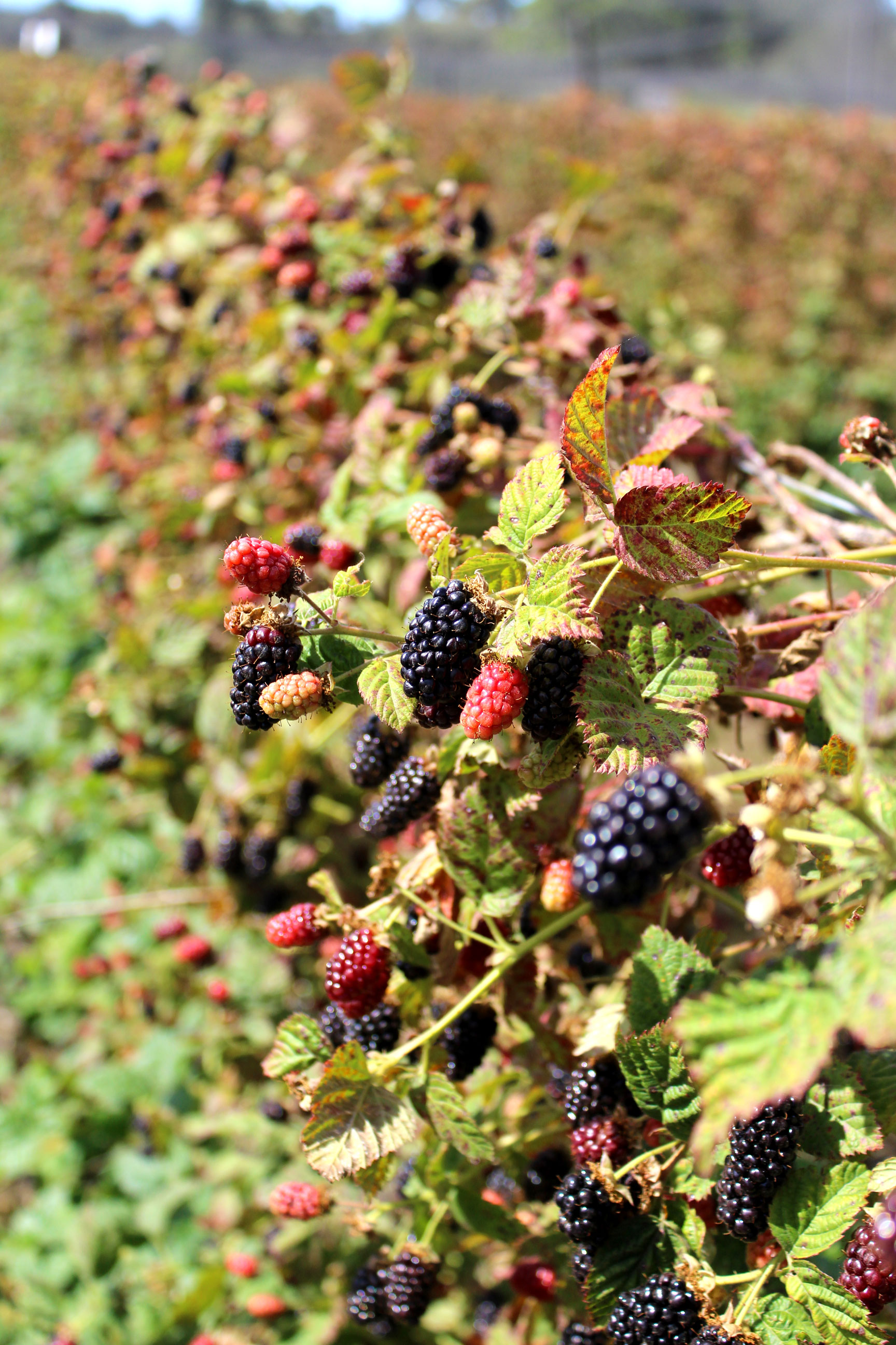 Summertime in Northern California - U-Pick Olallieberries at Swanton Farm | Sundays and Somedays