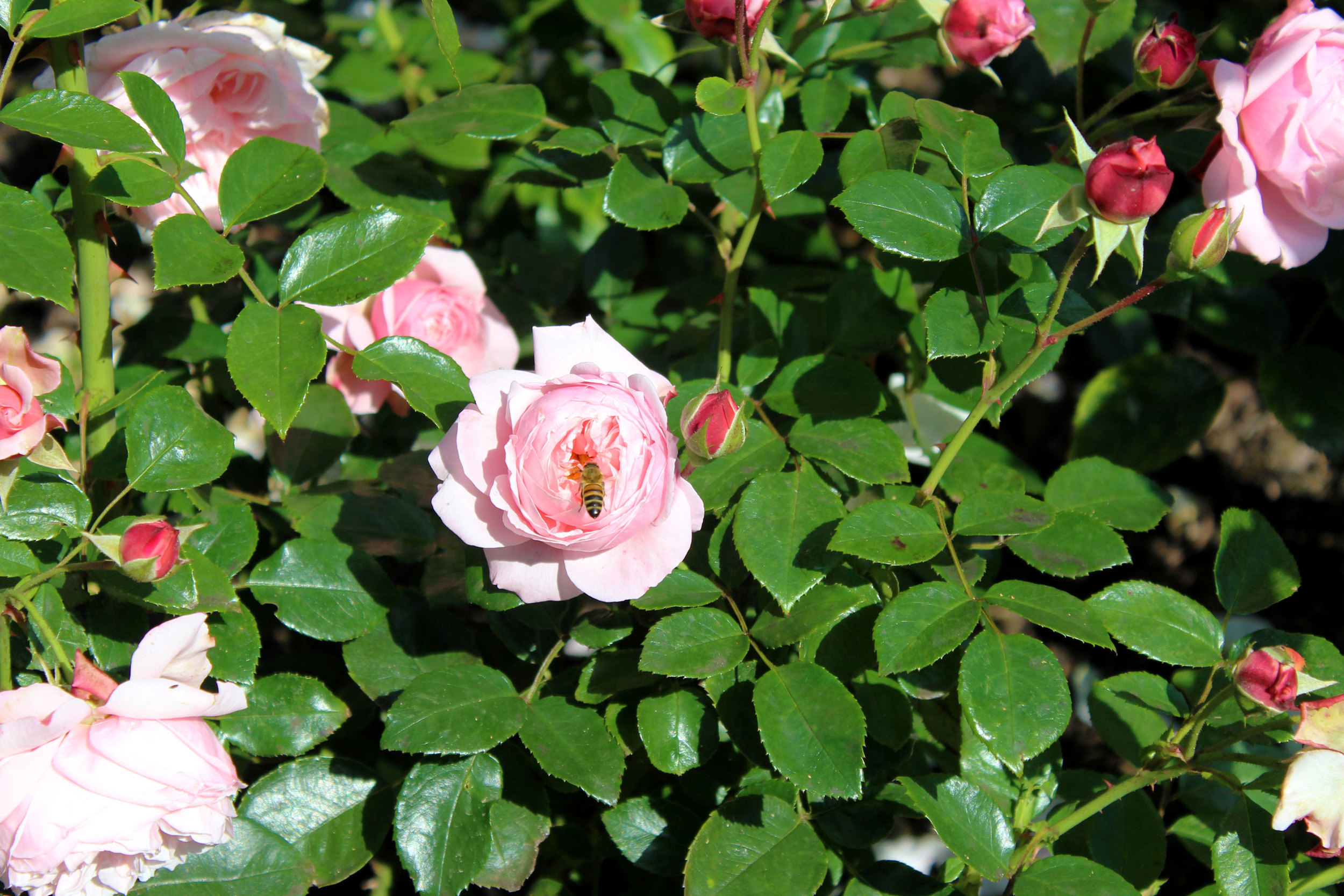 Pink garden rose in London.