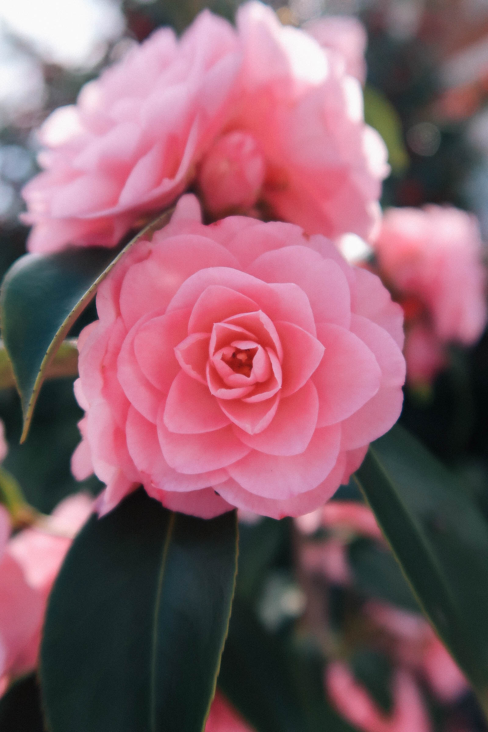 Pink camellias in Greenwich Park London | Greenwich Strolls | Sundays and Somedays