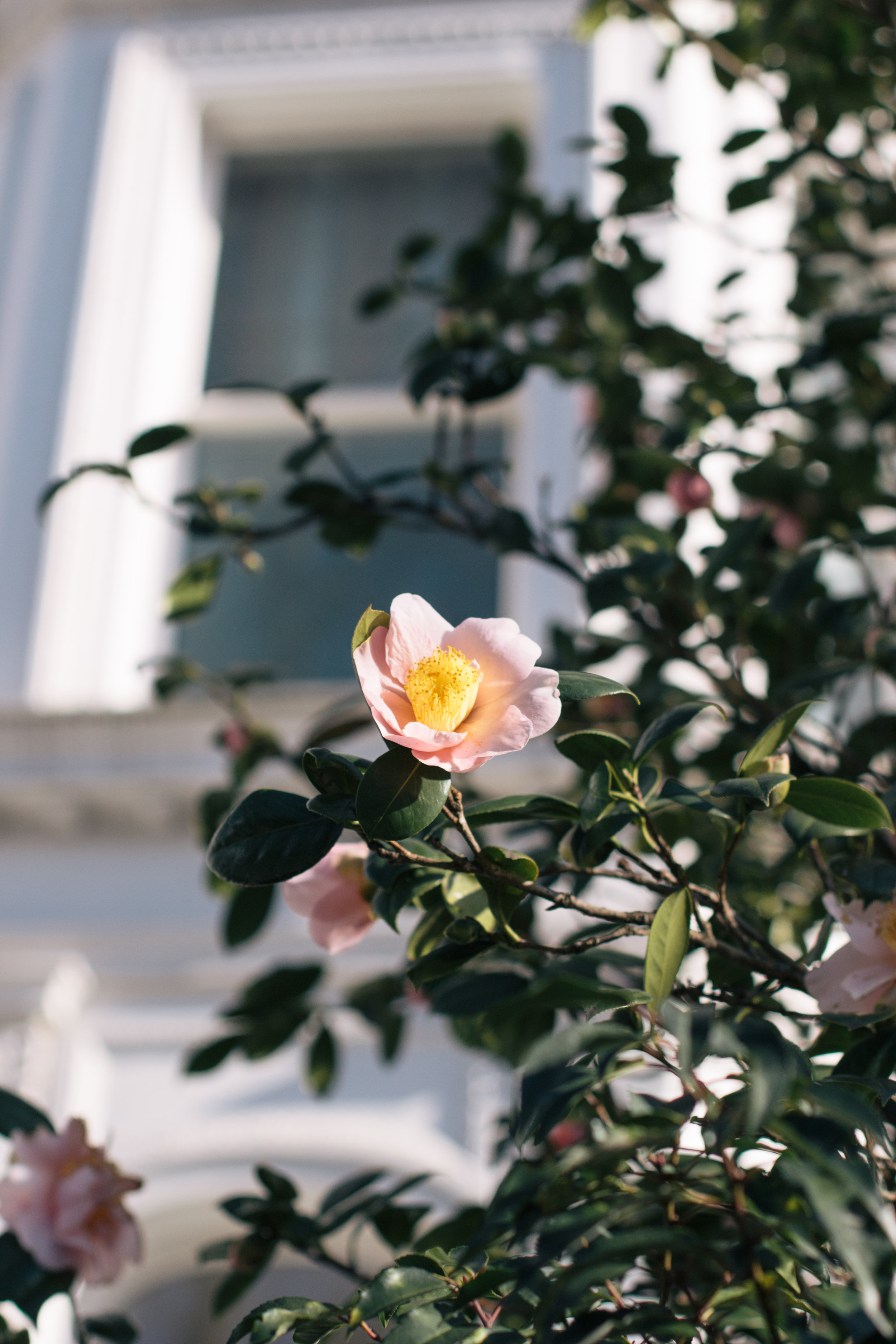Is It Spring Yet? | A camellia blooms in Kensington, West London | Sundays and Somedays