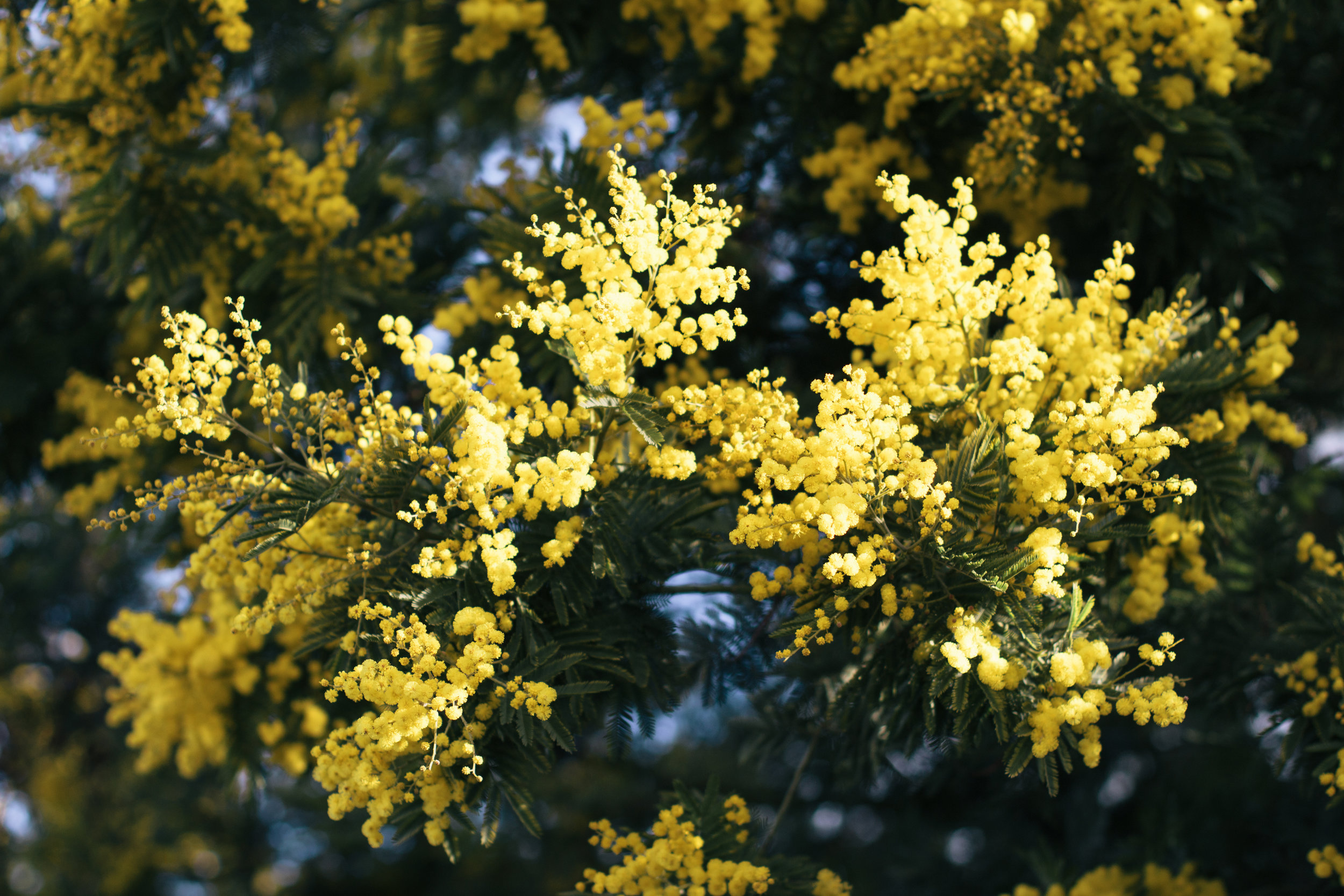 Is It Spring Yet? | A mimosa tree blooming in Notting Hill, West London | Sundays and Somedays