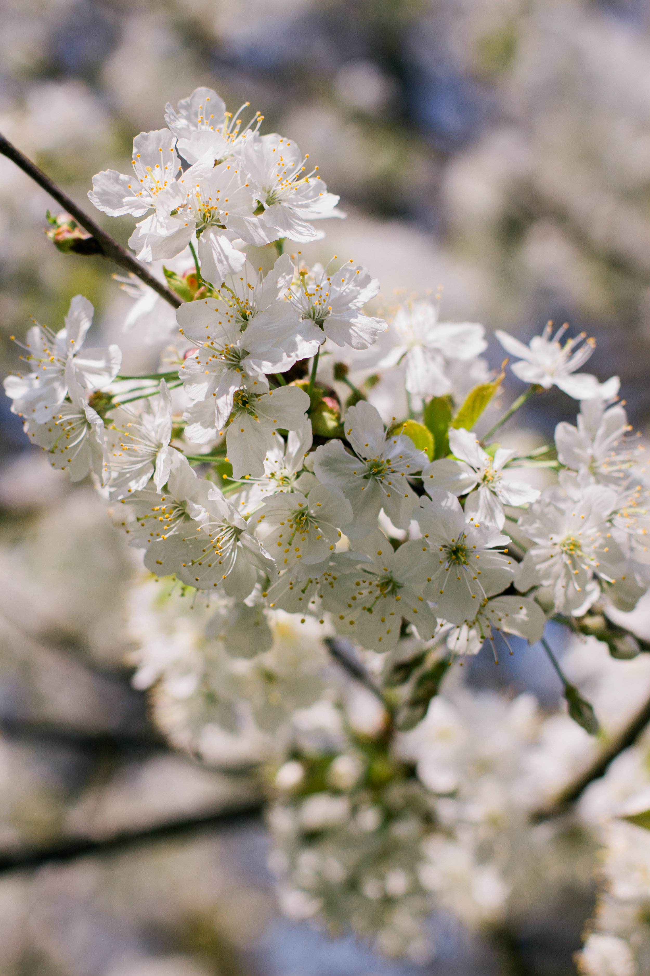 Cherry blossoms in Hampstead Heath park in London