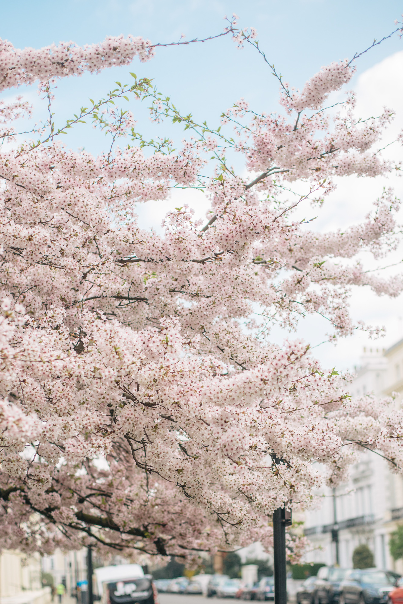 Notting Hill Cherry Blossoms-1.jpg