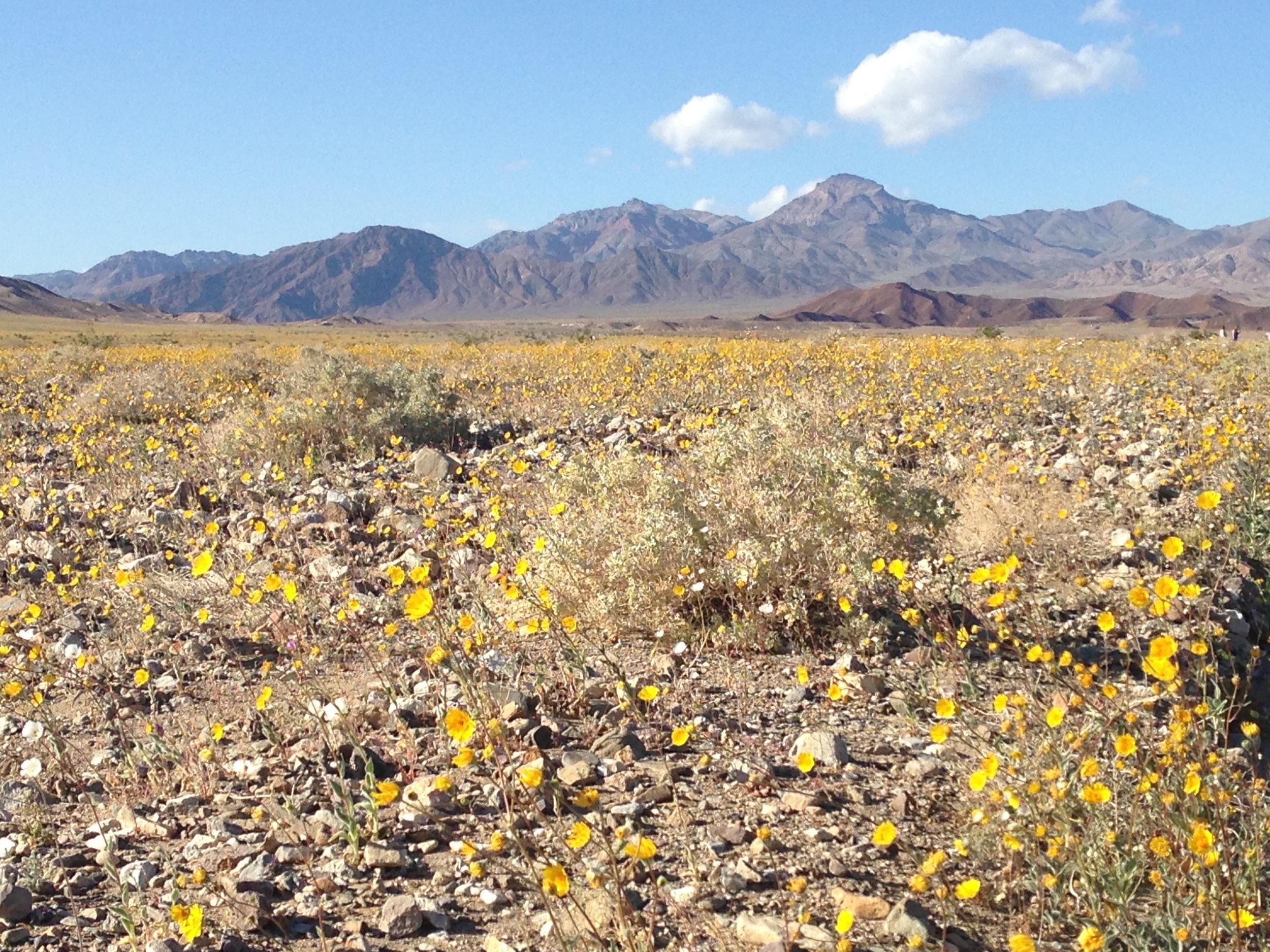Desert Sunflower blossom at Death Valley