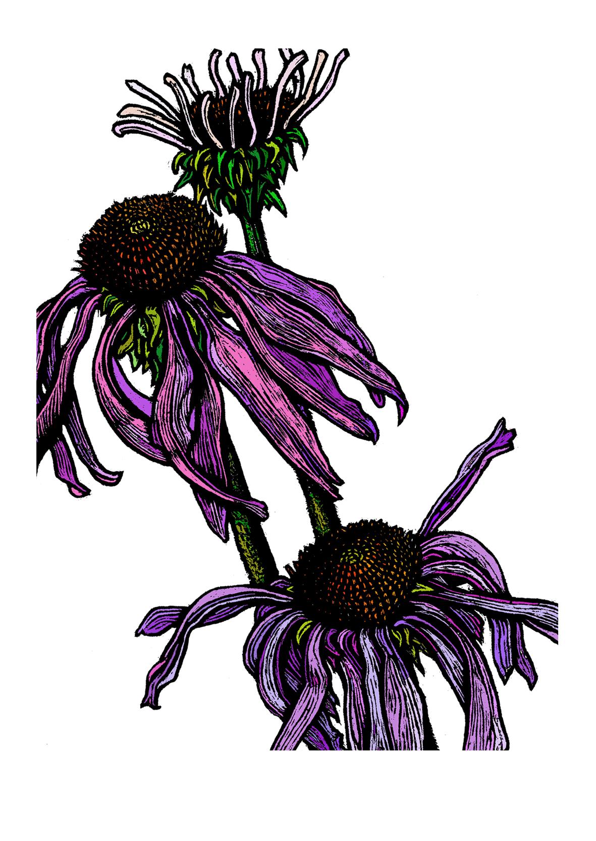 Echinacea by Rachel Meehan.jpg