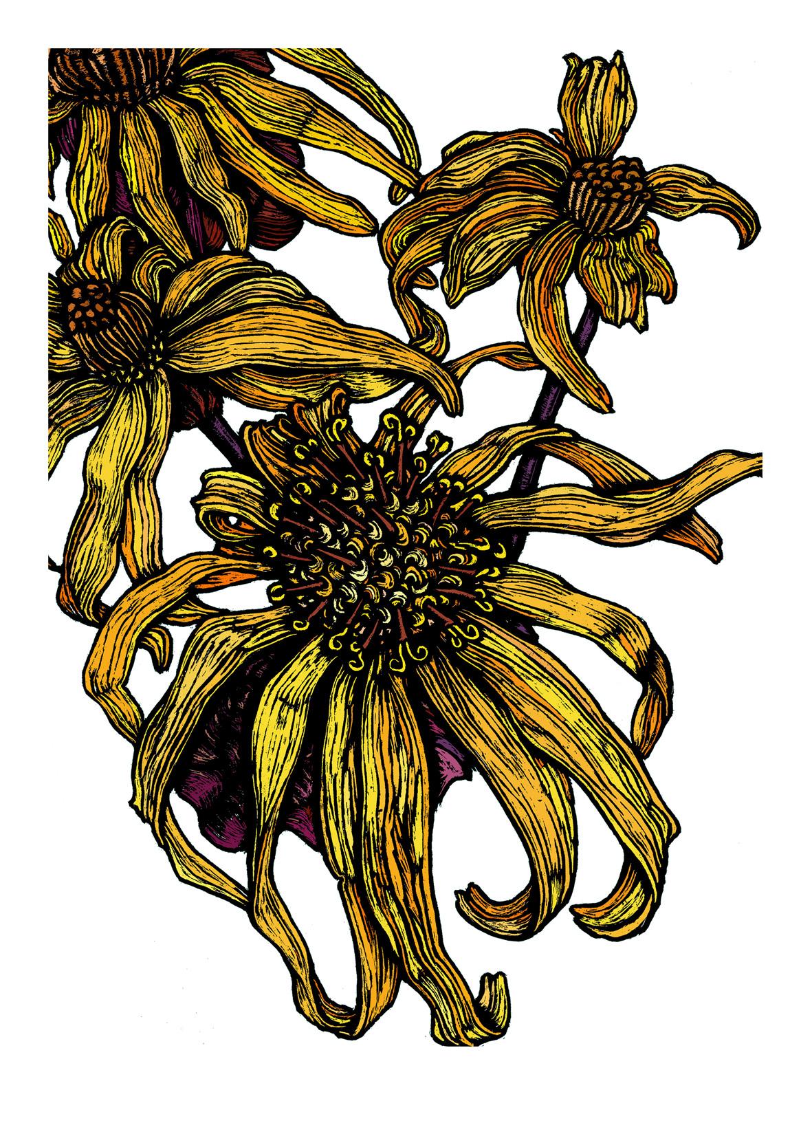 Ligularia  by Rachel Meehan.jpg