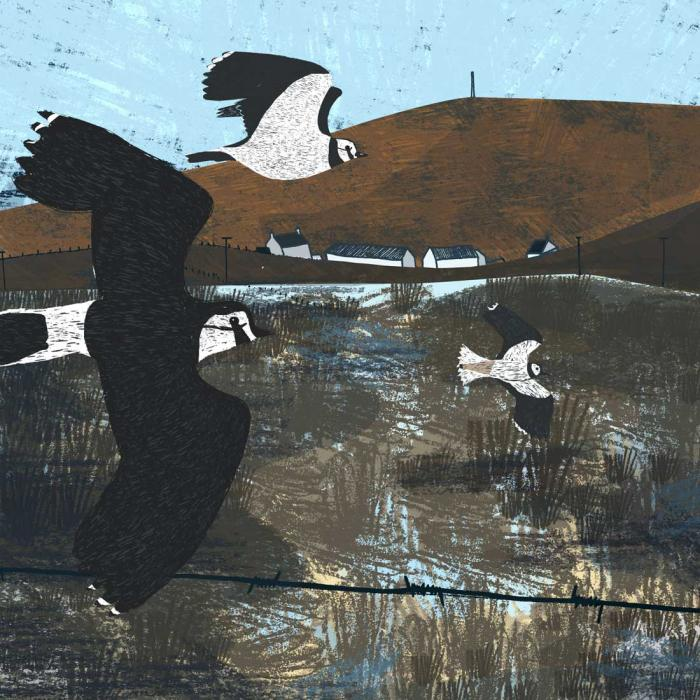 Orkney Lapwings by Lucy Hadley