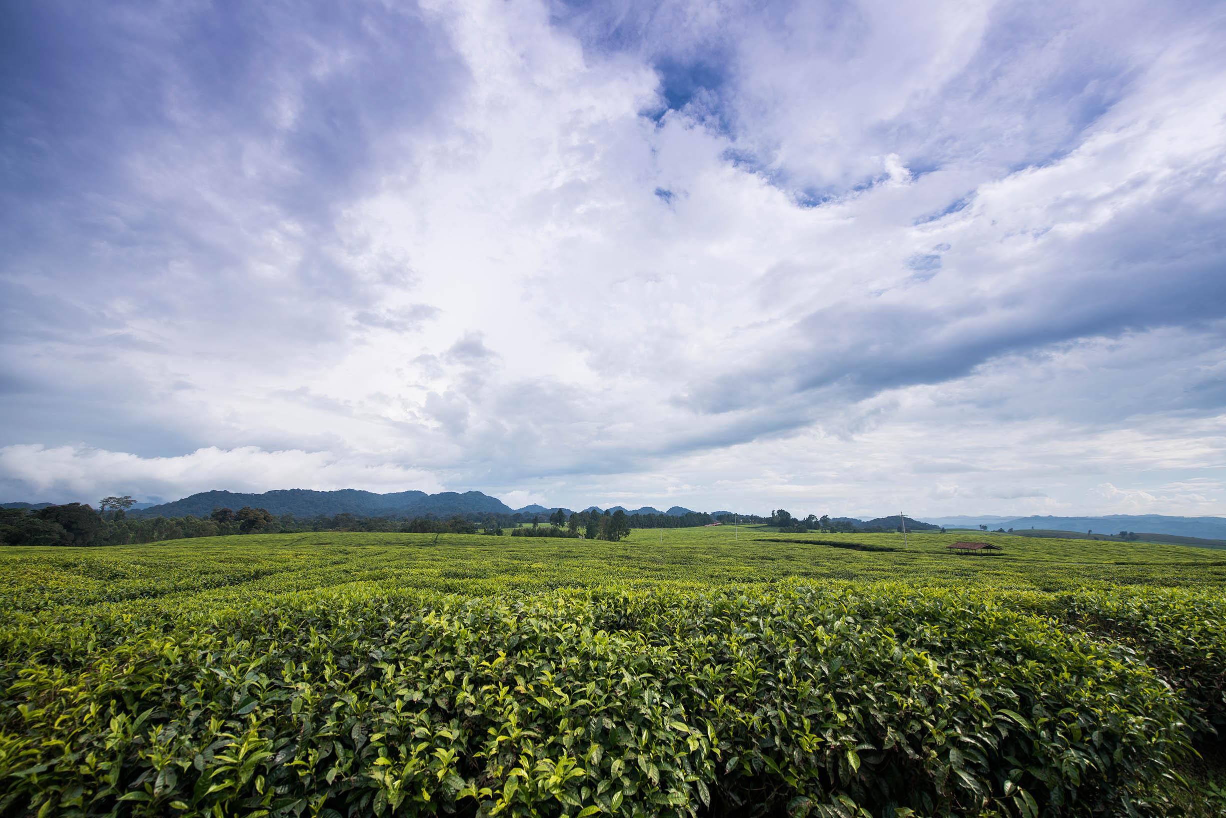 Tea Plantations, Nyungwe, Rwanda
