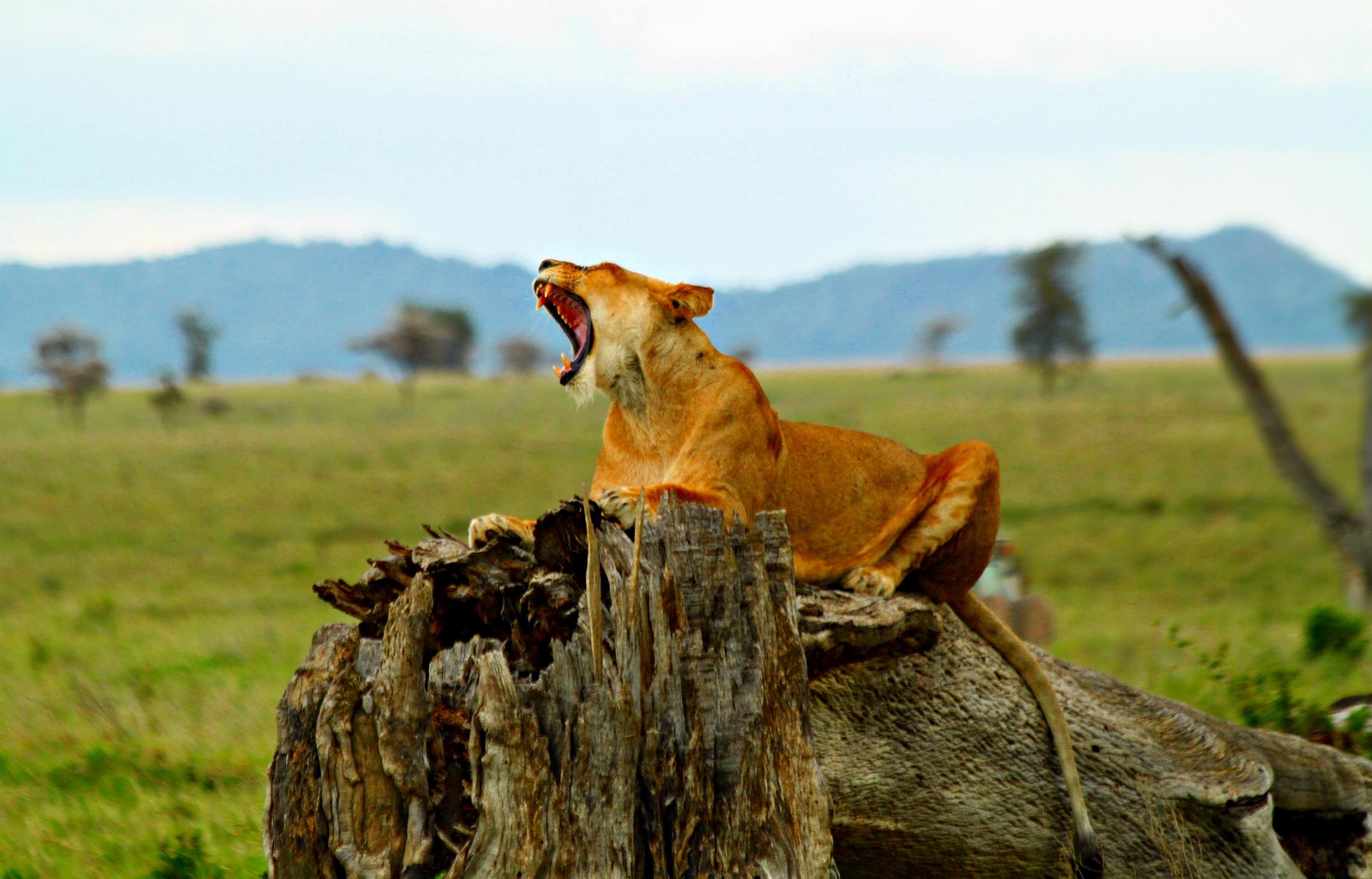 Lion_Serengeti.JPG