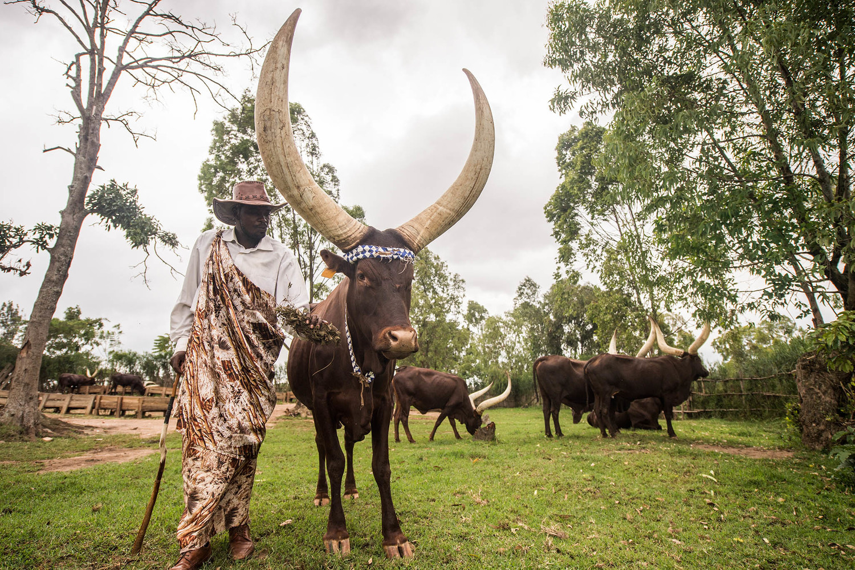 Long Horn Cows.jpg