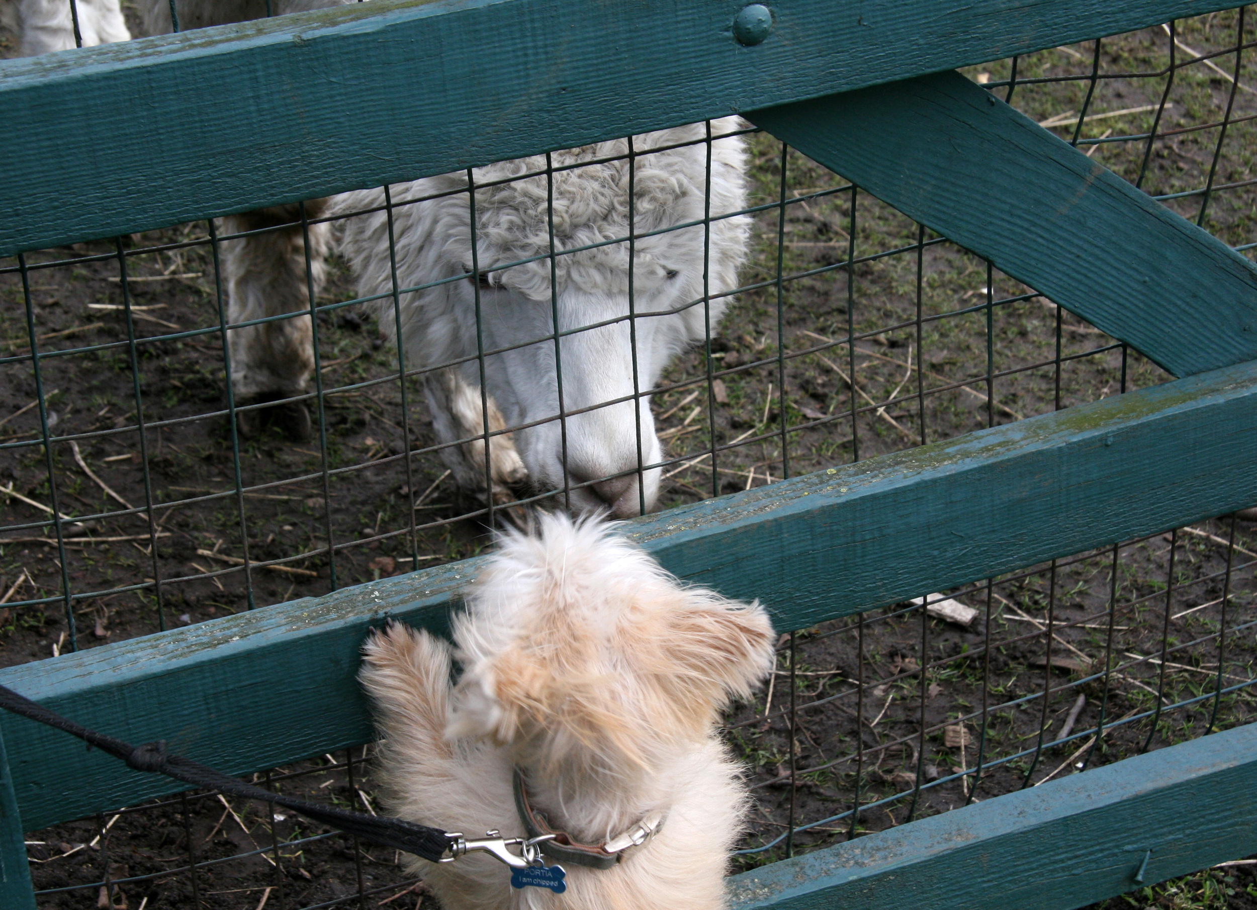Portia meets Jerry , the alpaca in the paddock