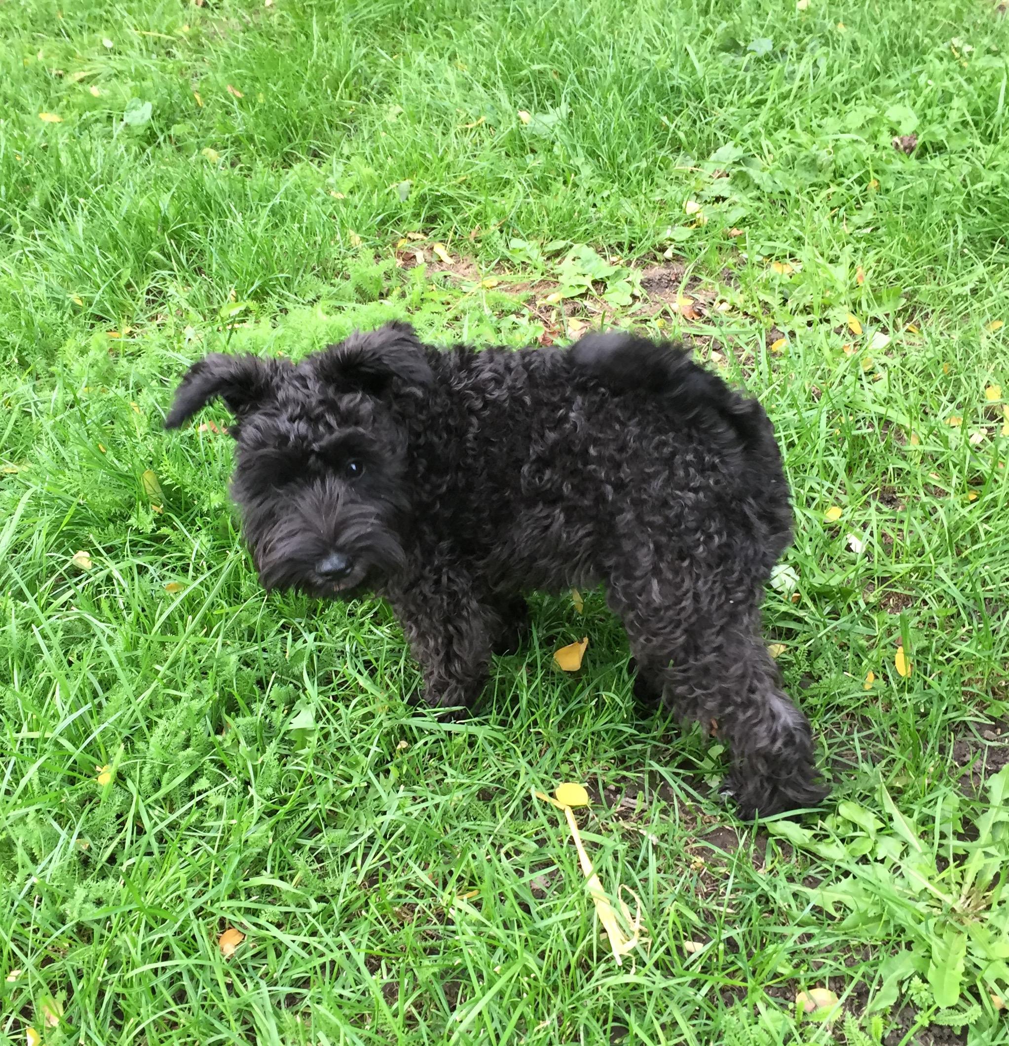 Miniature Schnauzer puppy Halston