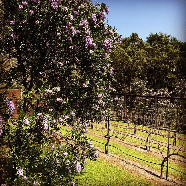 Mountain Laurels are in full bloom at Slow Turtle; the air smells of grape Kool-Aid.