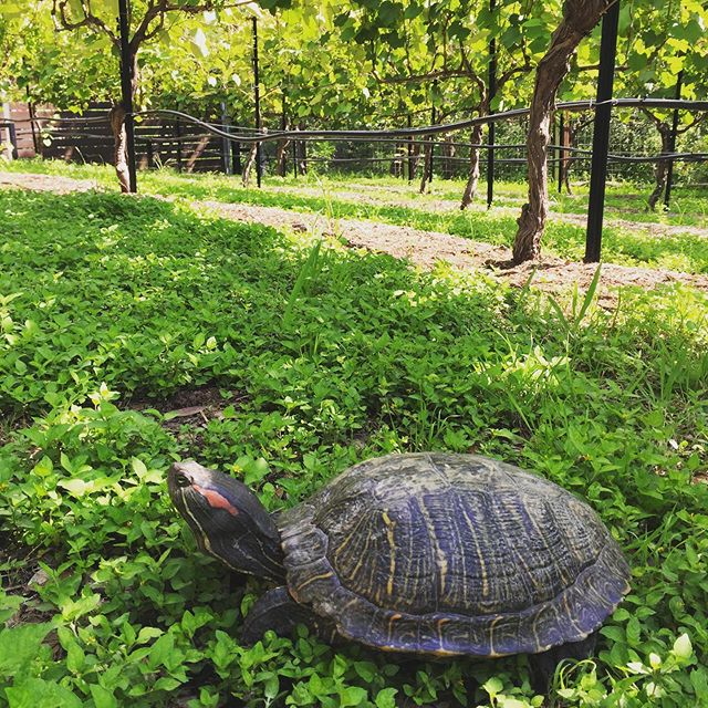 This red eared slider turtle was crossing our street (Slow Turtle Cove) this morning.  Our neighbor picked him up to avoid getting run over and brought him over to visit the vineyard.  Too cool!