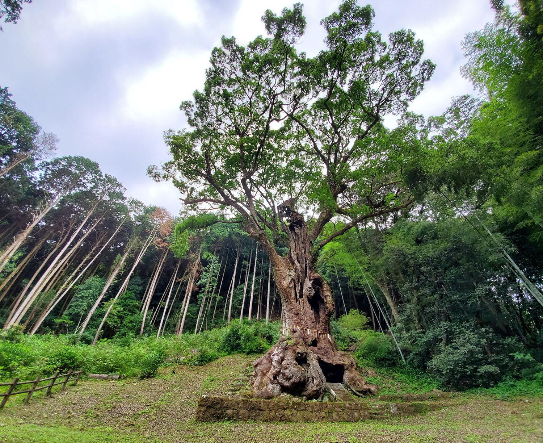 Okusu tree.jpg