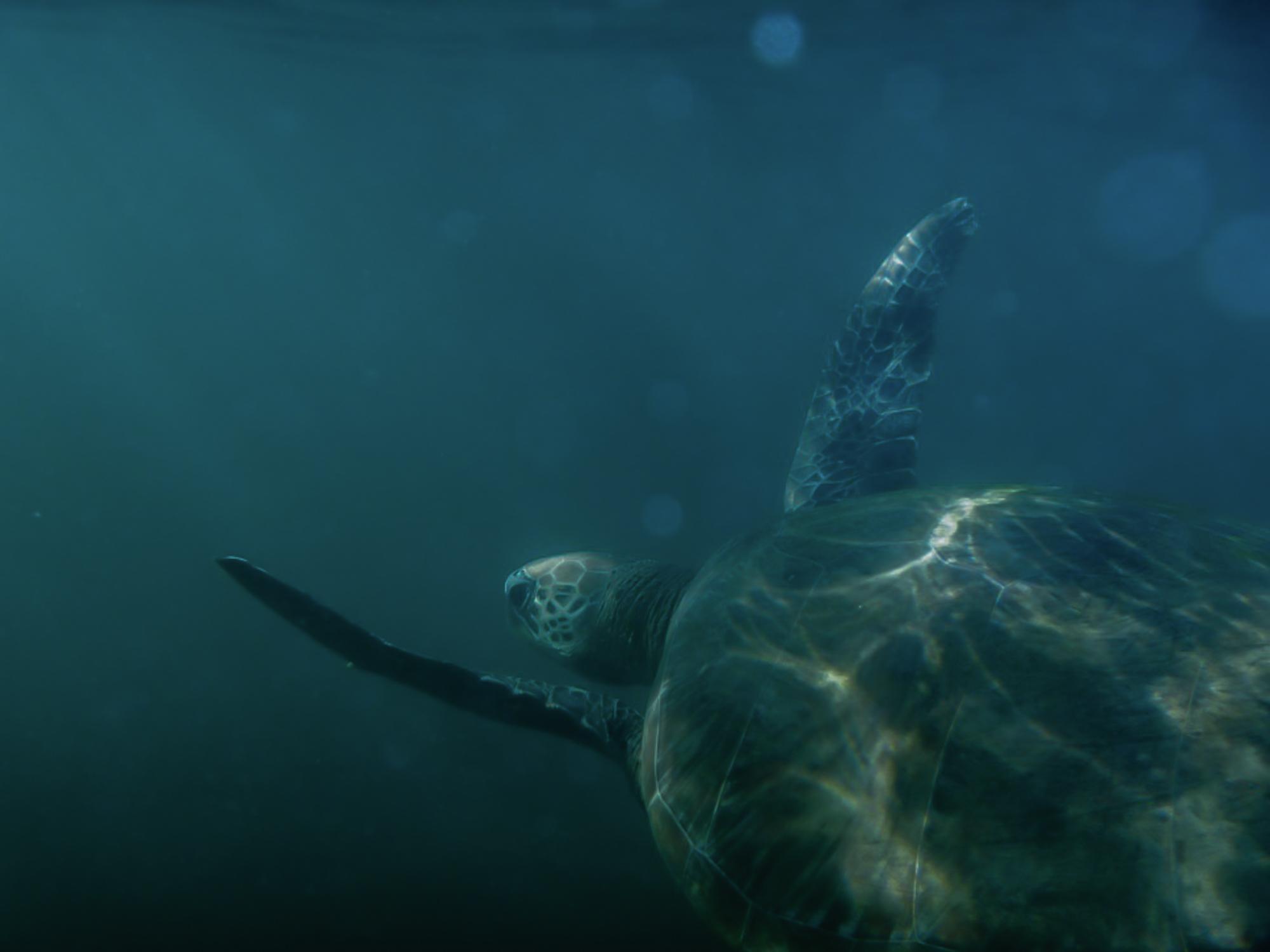 First photograph of a turtle /Hamilton Island 2012