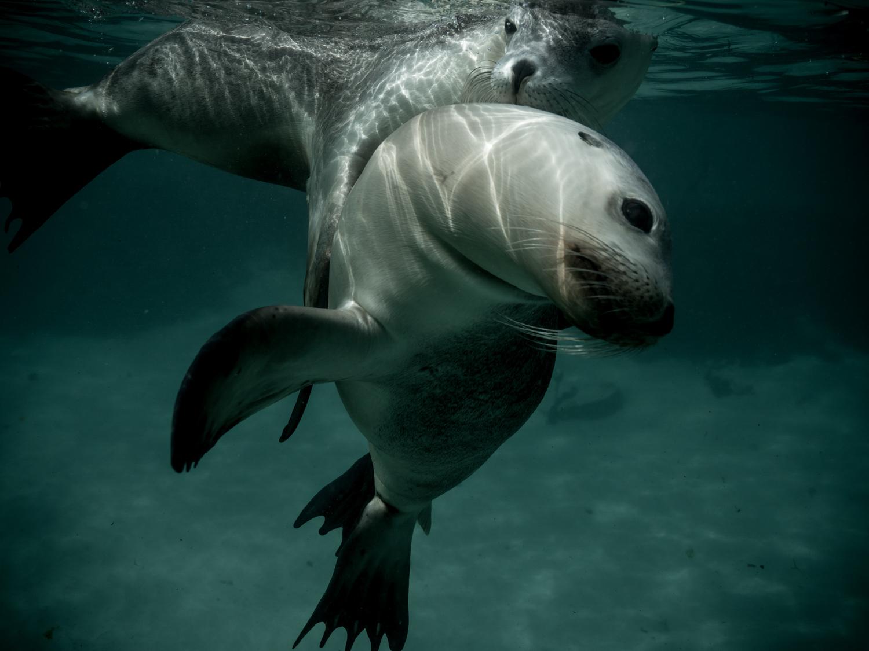 Australian Sea Lion , Olympus Australia South Australia 2018