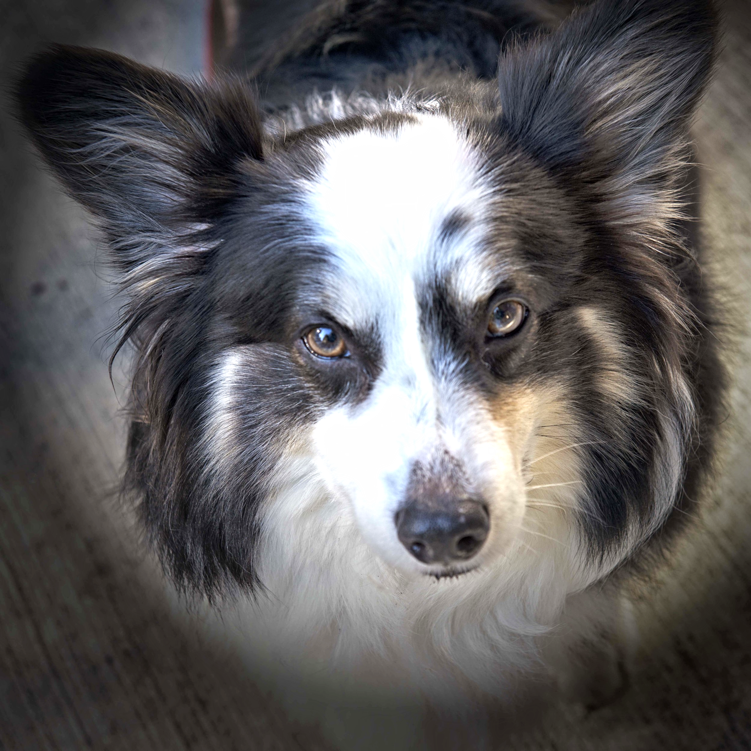 MiSSY,  an unusual tricolor  pembroke Welsh corgi,  is sweet & protective.