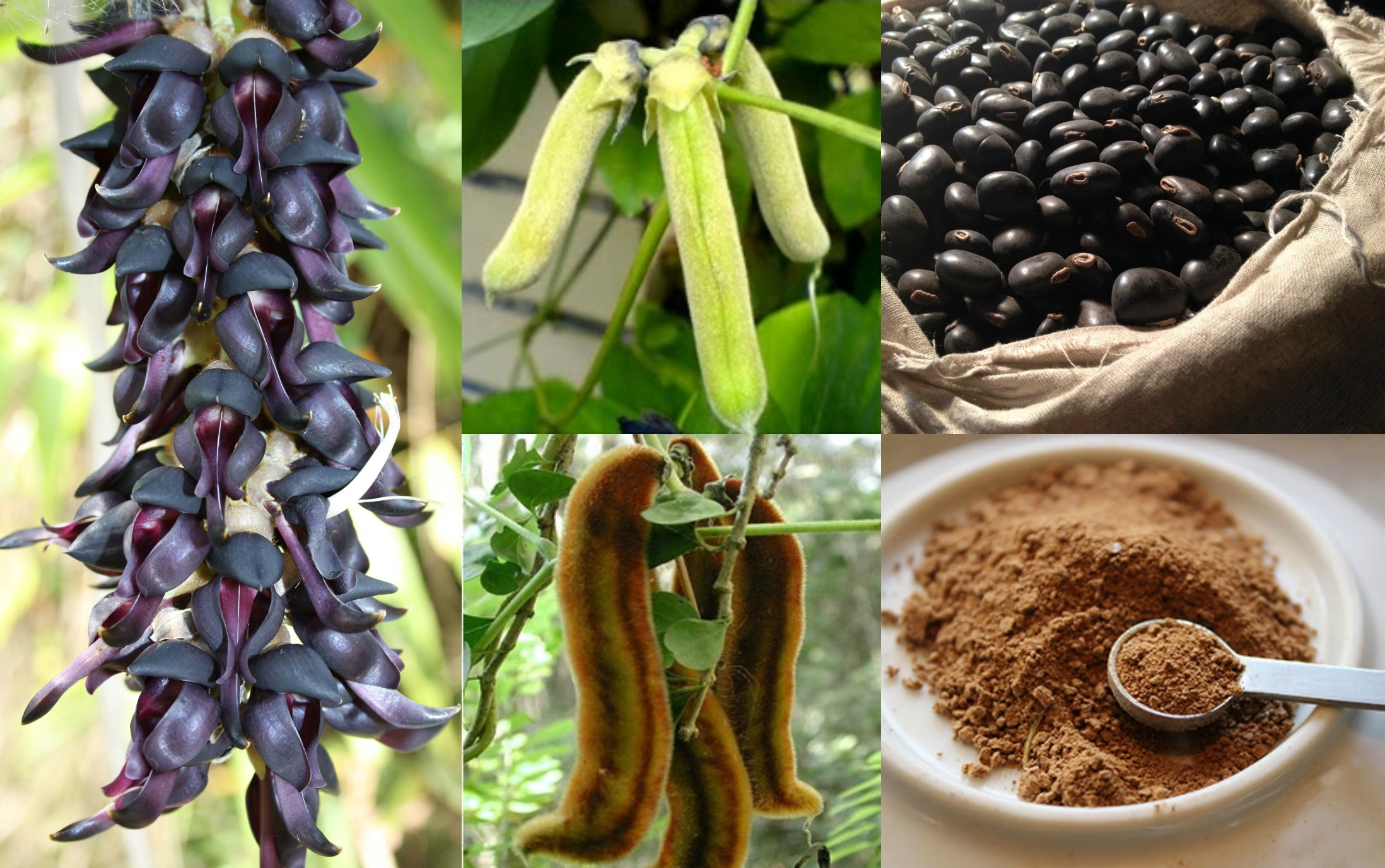 Different forms of  Mucuna Pruriens.    Photo:    Herbal Health