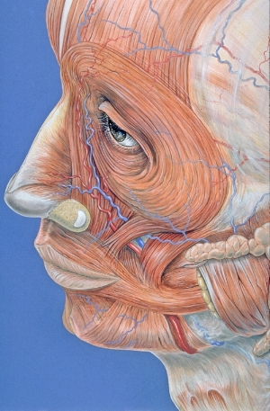 By Patrick J. Lynch, medical illustrator (Patrick J. Lynch, medical illustrator) [CC BY 2.5 (http://creativecommons.org/licenses/by/2.5)], via Wikimedia Commons