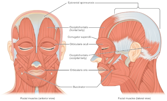 1106 Front and Side Views of the Muscles of Facial Expressions By OpenStax [CC BY 4.0 (http://creativecommons.org/licenses/by/4.0)], via Wikimedia Commons