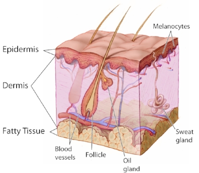 Anatomy The Skin - NCI Visuals Online By Don Bliss (artist) [Public domain], via Wikimedia Commons