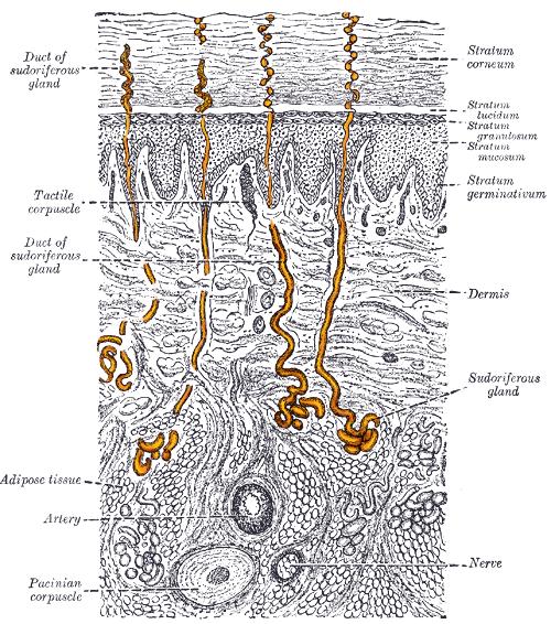 Sweat glands in skin. Henry Gray [Public domain], via Wikimedia Commons