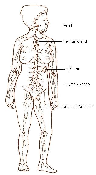 https://commons.wikimedia.org/wiki/File:Illu_lymphatic_system.jpg#/media/File:Illu_lymphatic_system.jpg