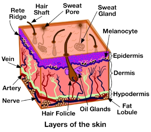 Fig1SkinCrossSection3.jpg