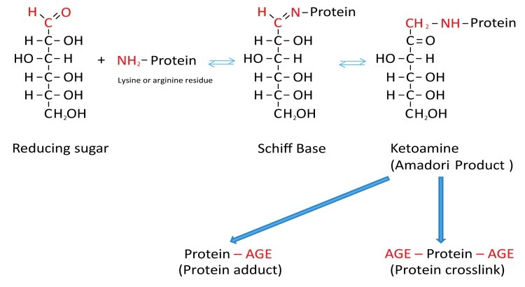 Schematic presentation of the Maillard reaction. Reactive carbonyl groups of a reducing sugar react with neutrophilic free amino groups of proteins to form a reversible Schiff base. Through rearrangement a more stable Amadori product is formed. Dependent on the nature of these early glycation end products, protein adducts or protein crosslinks are formed. https://www.ncbi.nlm.nih.gov/pmc/articles/PMC3583887/