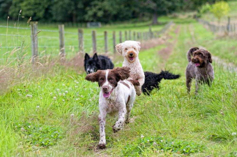 group-dog-walks.jpg