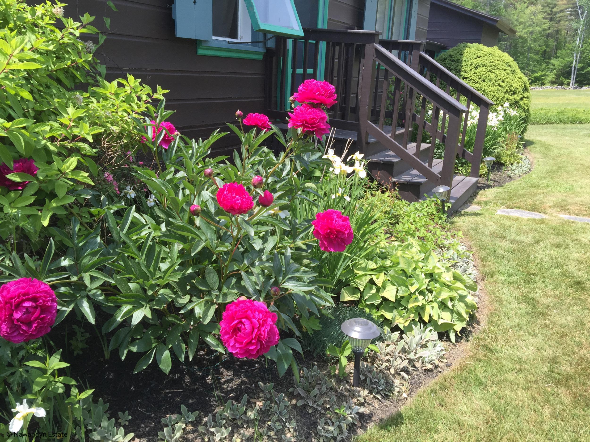 Vivid Peonies in garden surrounding Guest House