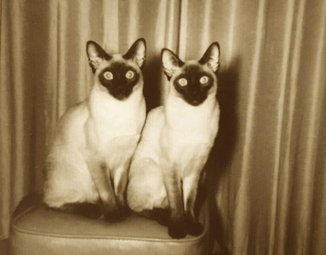 Siamese Cats.jpeg