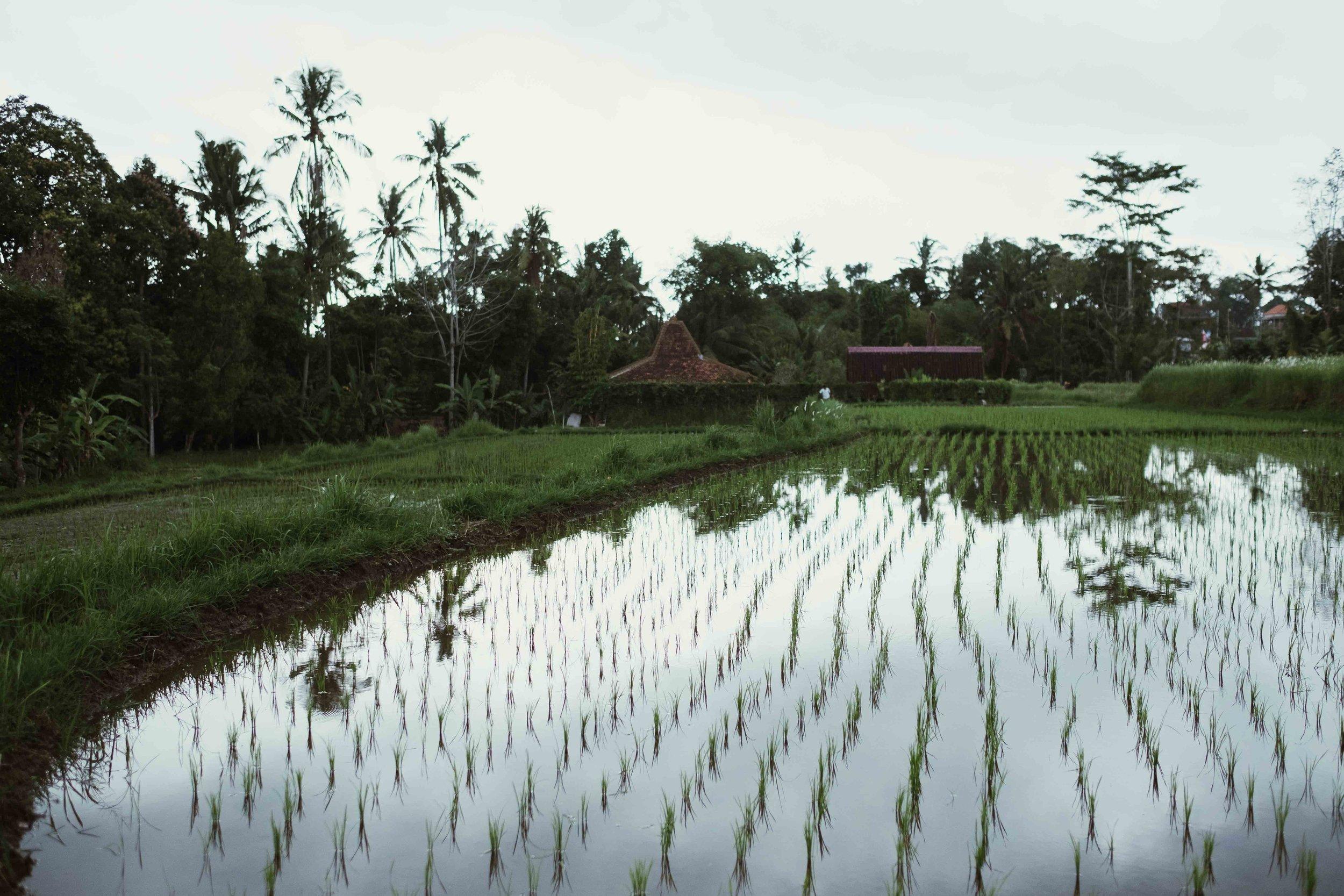 more fields near Ubud centre