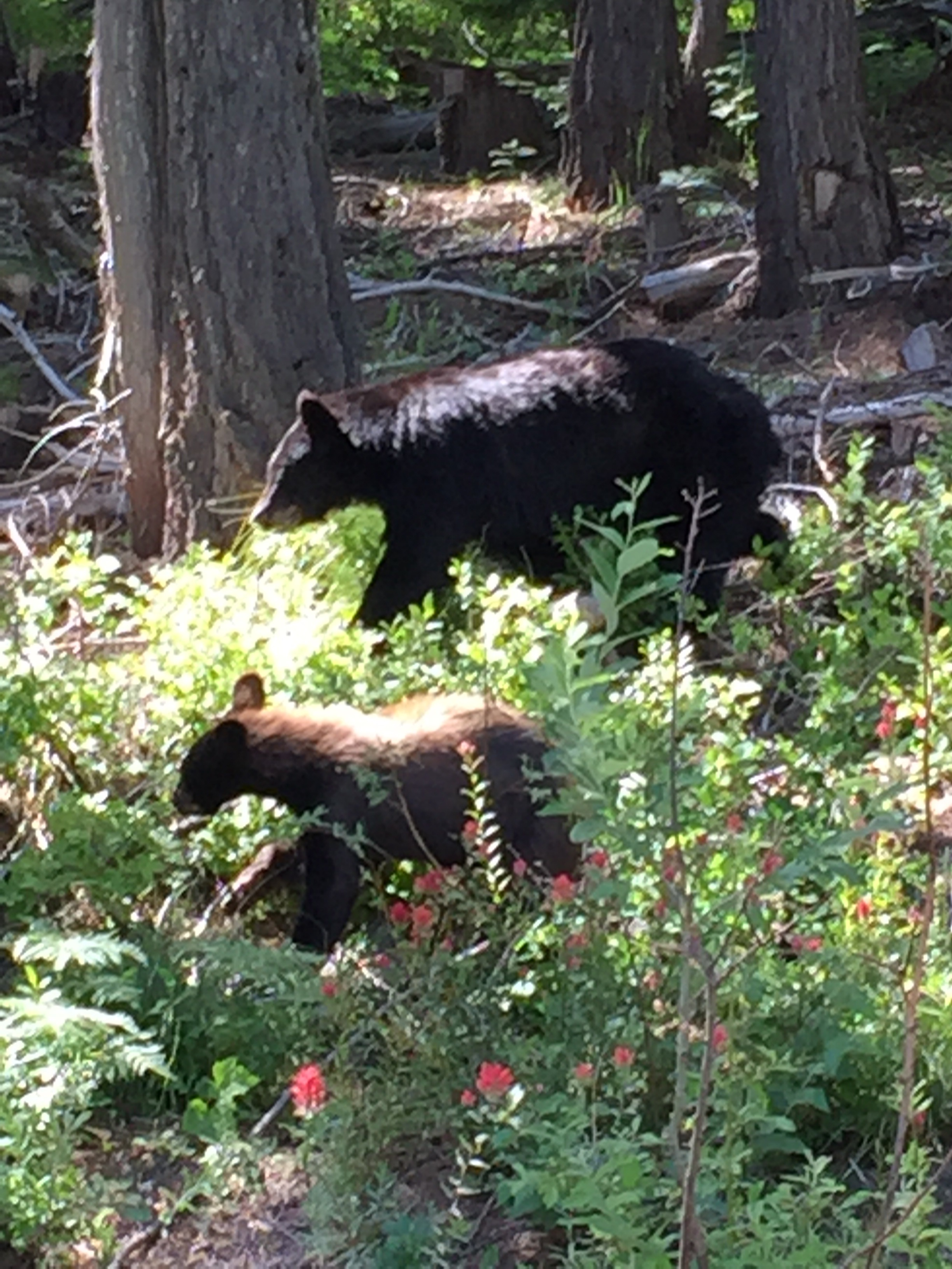 We got lucky on the way to  Schweitzer Mountain  and saw a mama black bear with her cubs